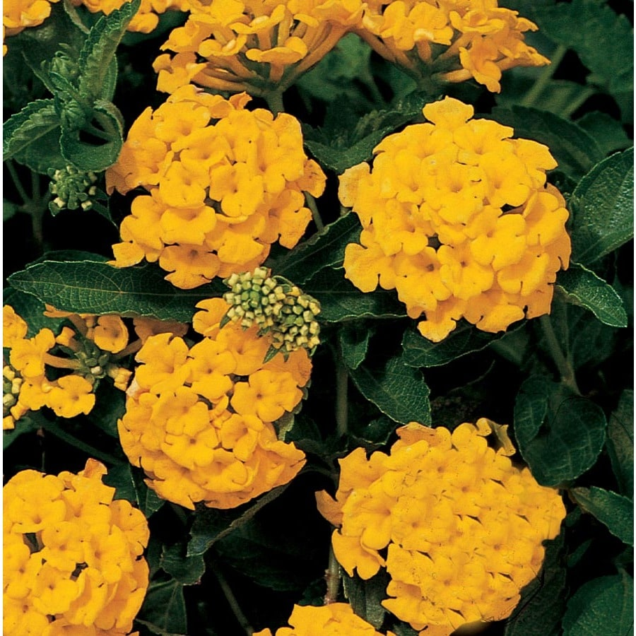 Shop 6 Pack Yellow New Gold Lantana In Tray Ltss002 At Lowes