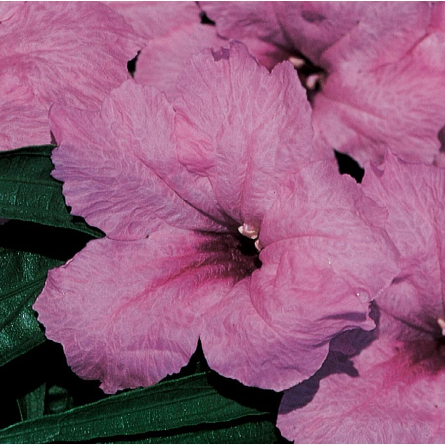 6 Pack Container Dwarf Mexican Petunia (Ltss006)