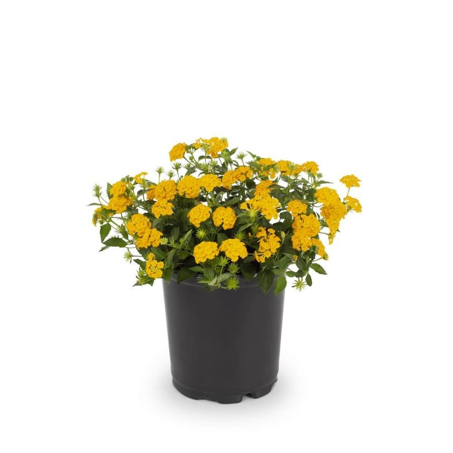 1 Quart Pot New Gold Lantana (LTSS002)