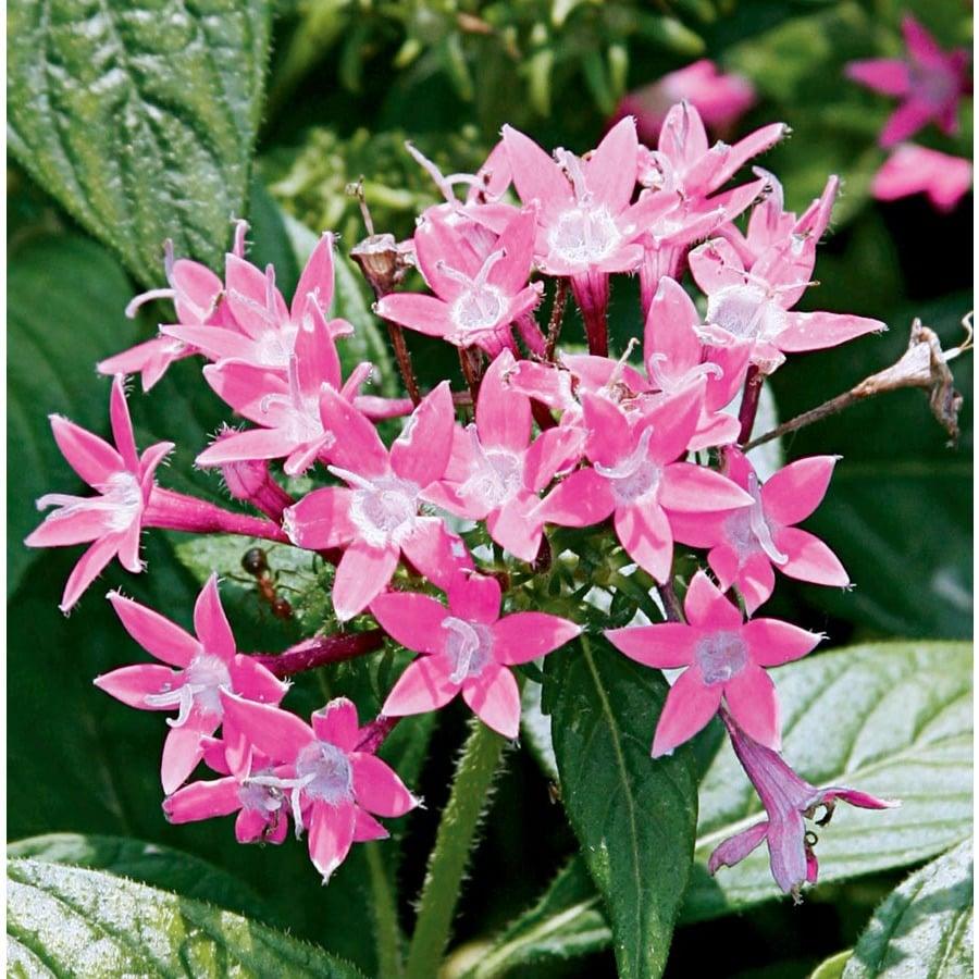 1-Quart Butterfly Deep Pink Pentas (Ltss045)