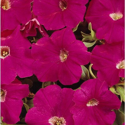 2 5 Quart Red Tidal Wave Cherry Petunia In Pot Ltss052 At Lowes Com