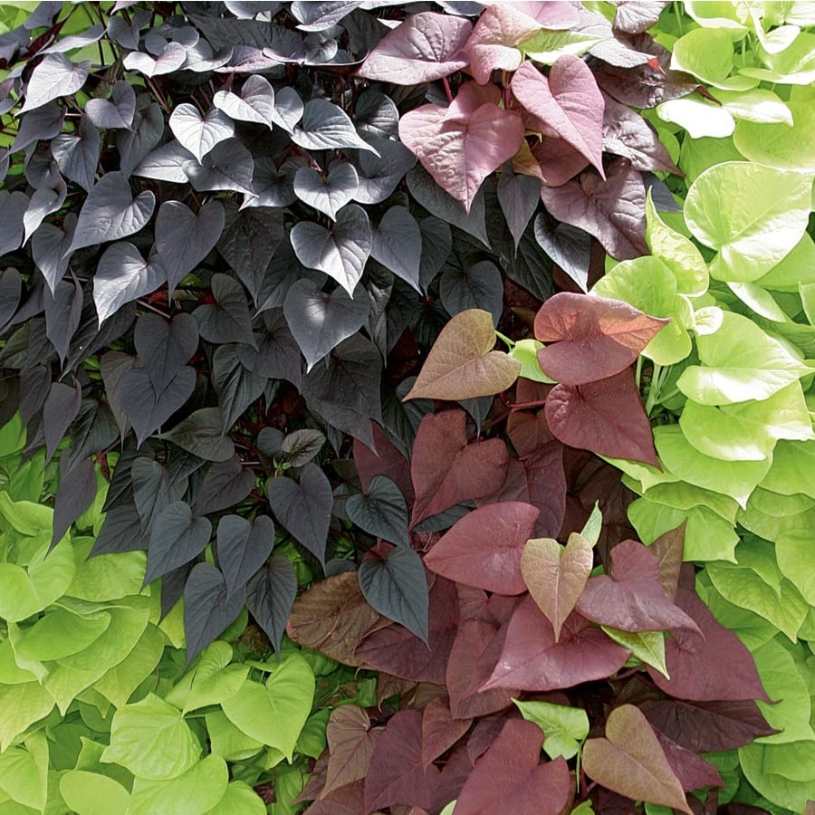 1.25-Quart Sweet Potato Vine (L9884)