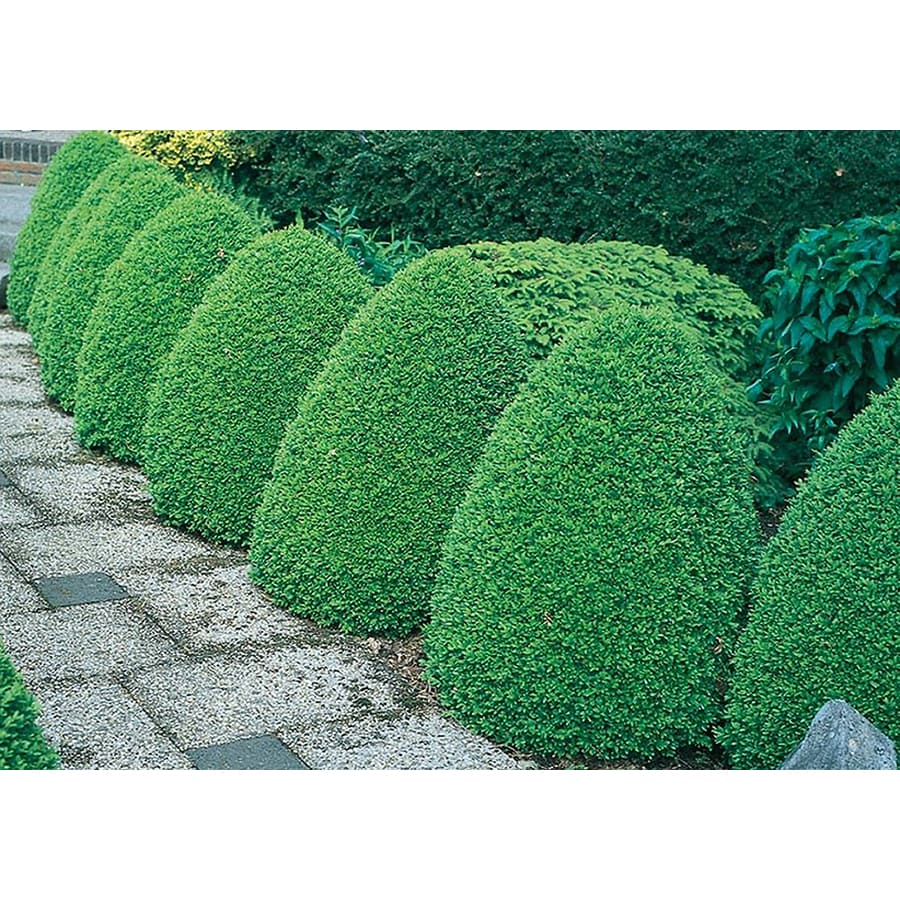10.25-Gallon Common Boxwood Foundation/Hedge Shrub (L2572)