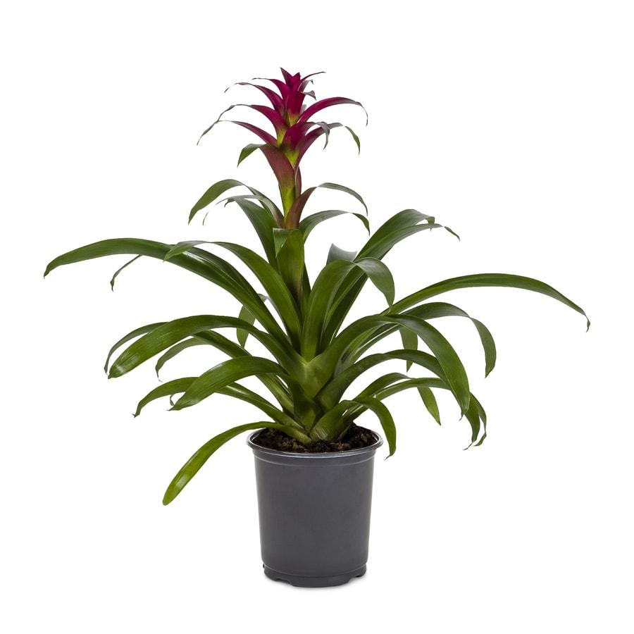 1.4-Quarts Bromeliads (L20921hp)