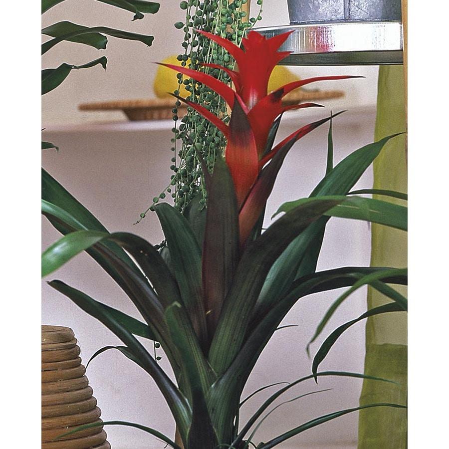 3.2-Quart(s) Bromeliads (L20921hp)