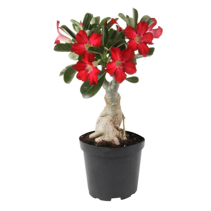 1.4-Quart Flowering Maple (L9991)