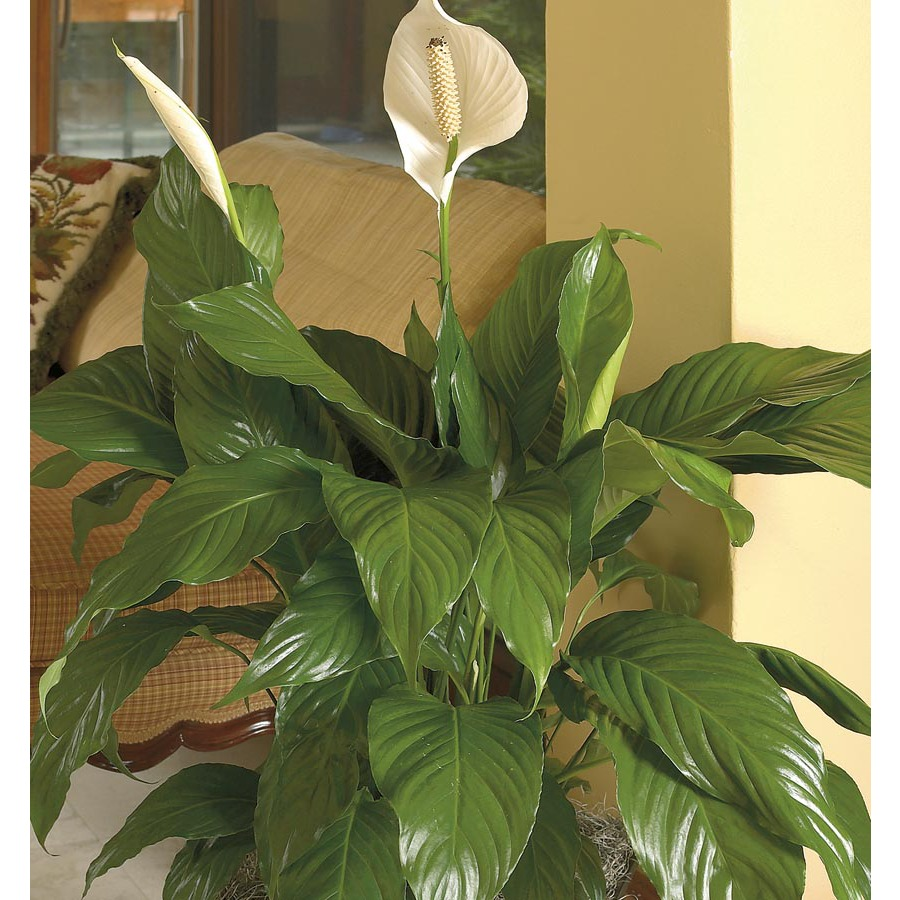3.2-Quart(s) Peace Lily (L20977hp)