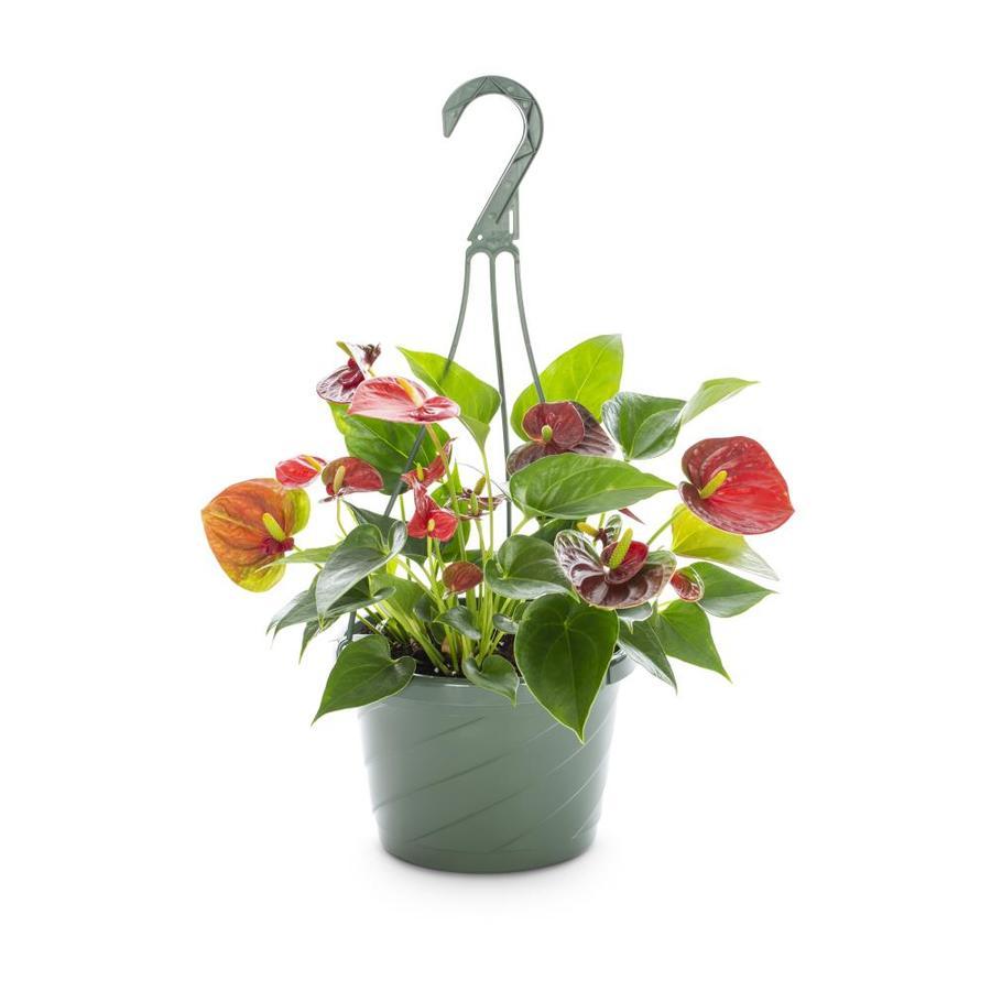 Inch(Es) Anthurium Pot (L294HP)