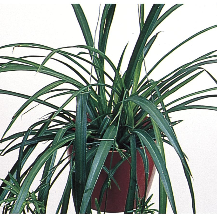 1-in Spider Plant (L03929)