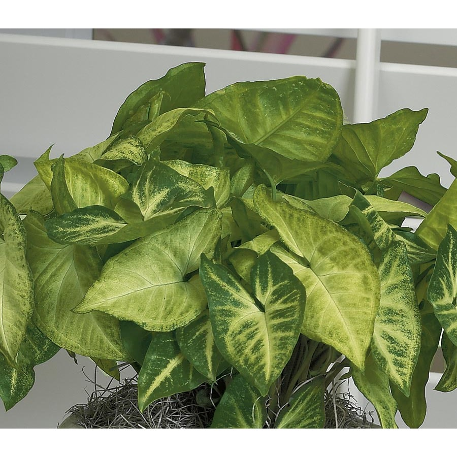 3.2-Quart(s) White Butterfly Syngonium (L20981hp)