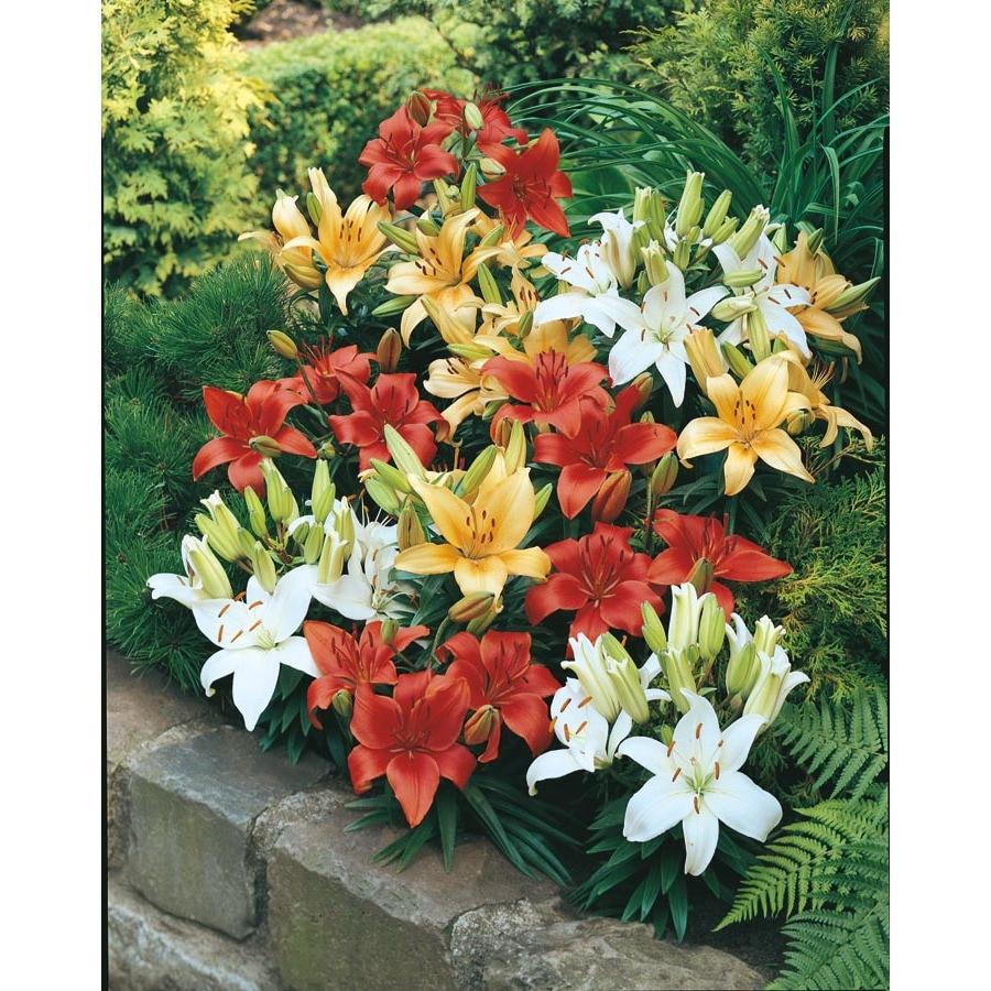 1.25-Quart Pixie Asiatic Lily (L16035)