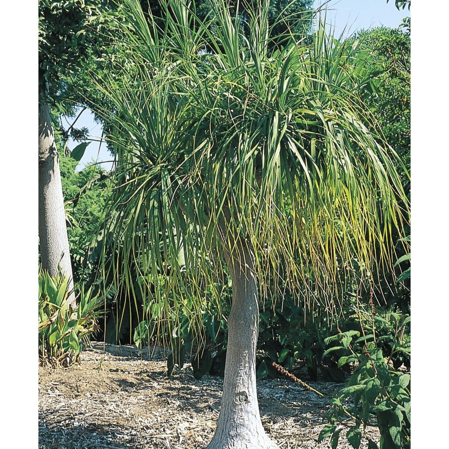 1-Quart White Ponytail Palm Feature Shrub (L9998)