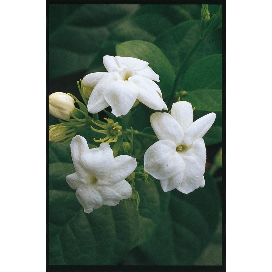 1.25-Quart Jasmine (L3527)