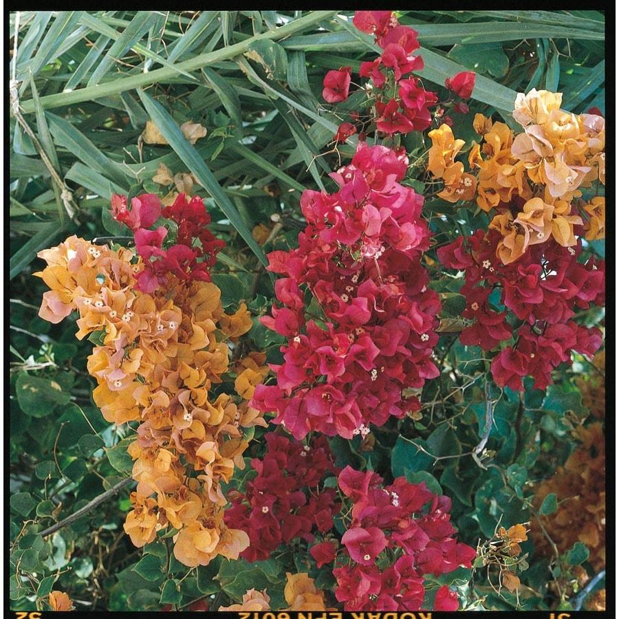 1.25-Quart Mixed Hybrid Bougainvillea Flowering Shrub (L5710)