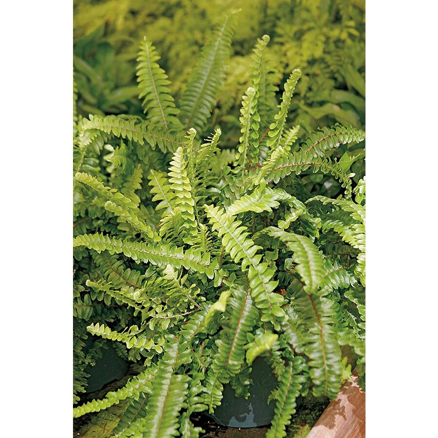 1.25-Quart Lemon Button Fern (L22578)