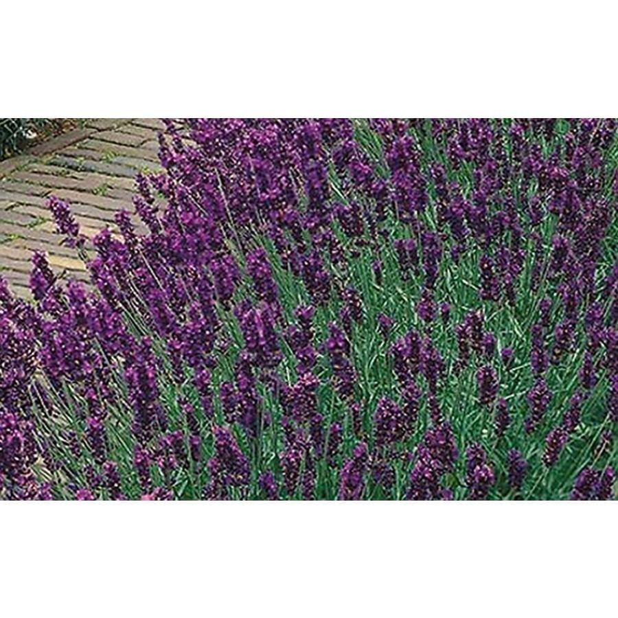 1.25-Quart Lavender (LW04007)