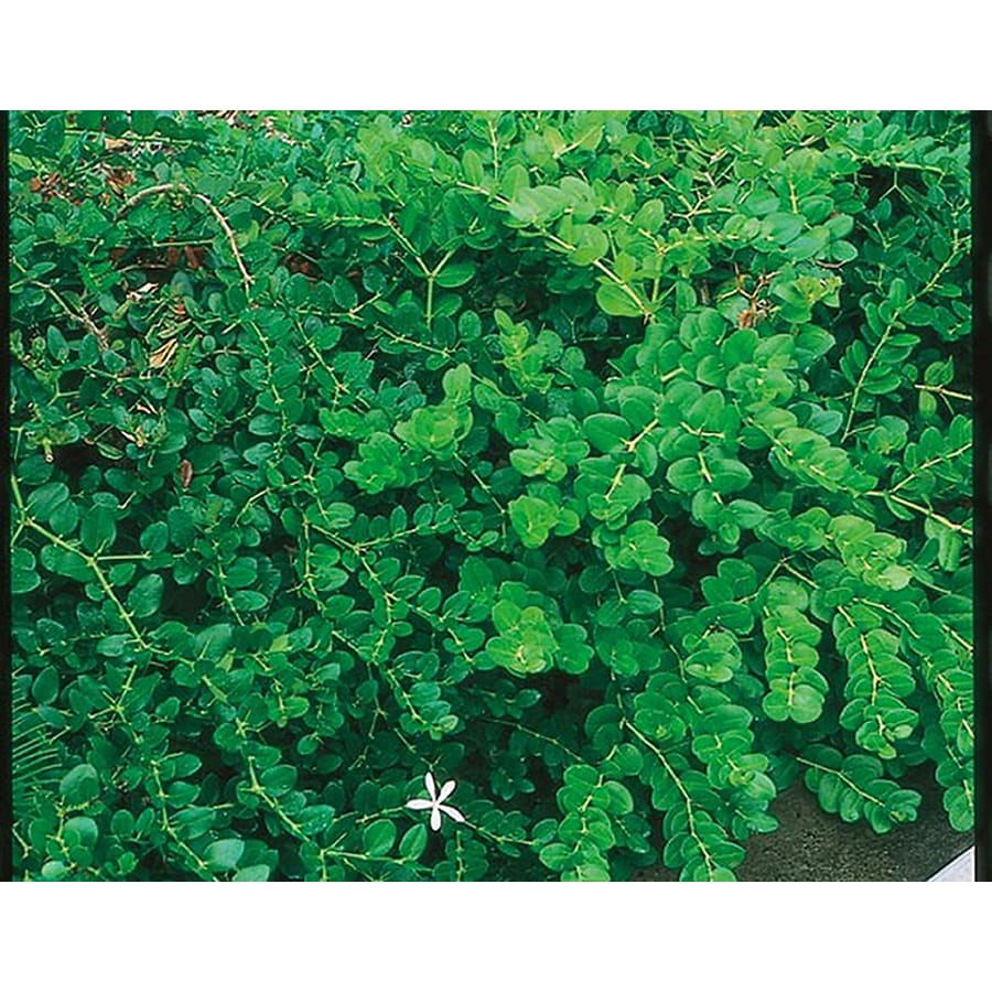 6-in White Fancy Natal Plum Foundation/Hedge Shrub (L11695)