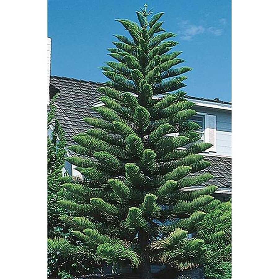 1.5-Gallon Norfolk Island Pine (L4279)