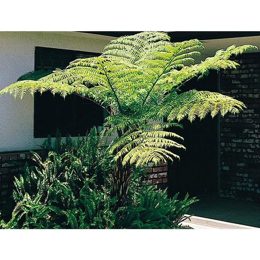 1.5-Gallon Australian Tree Fern (L11787)