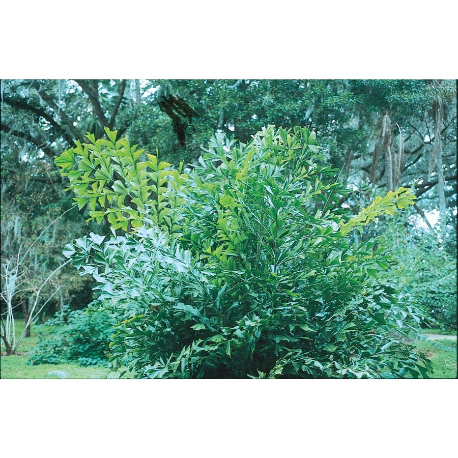 1.5-Gallon Fishtail Palm (L6922)
