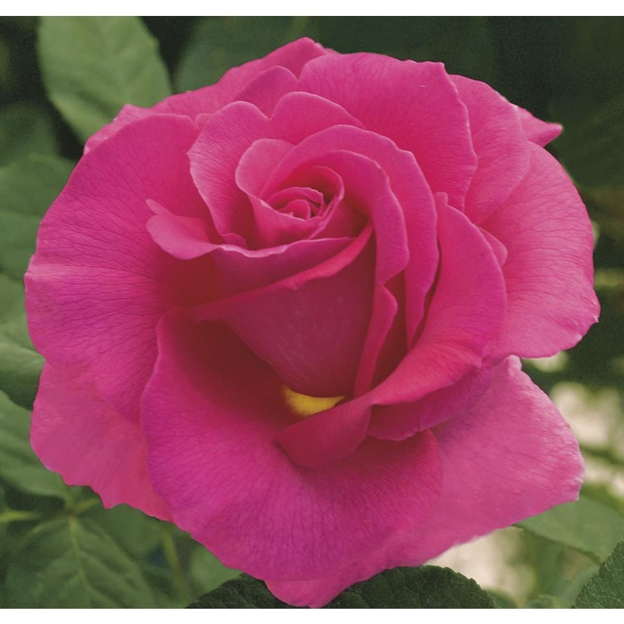 Jackson & Perkins 2.25-Gallon Veterans Honor Rose (LW01877)