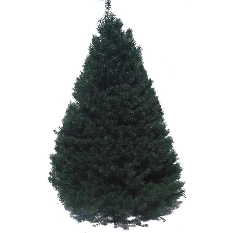 6 7 ft scotch pine real christmas tree - Lowes Christmas Tree Sale