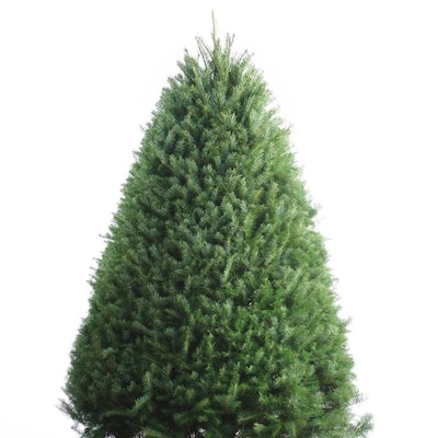 Douglas Fir Christmas Tree.6 7 Ft Fresh Douglas Fir Christmas Tree At Lowes Com