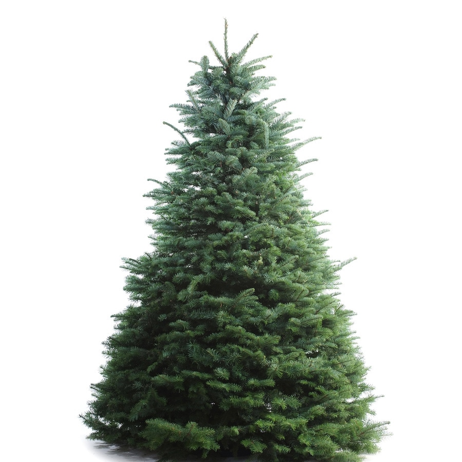 8-9-ft Fresh Noble Fir Christmas Tree at Lowes.com