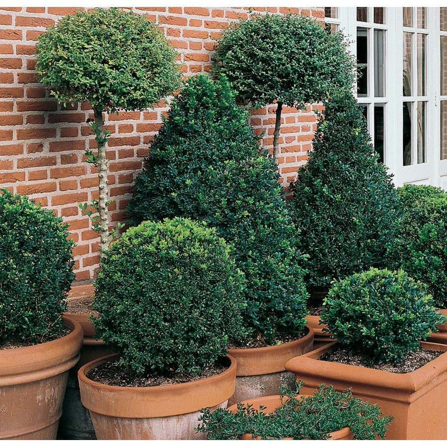 5 Gallon Topiary Boxwood Feature Shrub In Pot L25855 In The Shrubs Department At Lowes Com