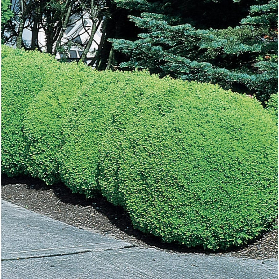 Shop 9 64 Gallon Green Mountain Boxwood Foundation Hedge