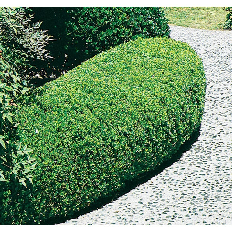 9.64-Gallon Winter Gem Boxwood Foundation/Hedge Shrub (L3447)