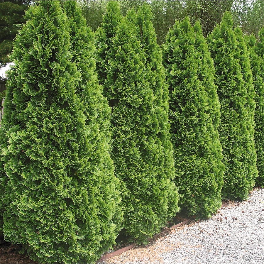 5 Gallon Emerald Green Arborvitae Screening Shrub In Pot L5480