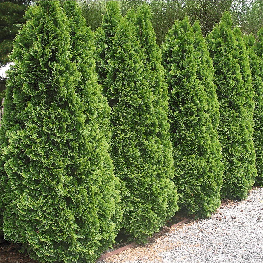 12.7-Gallon Emerald Green Arborvitae Screening Shrub (L5480)