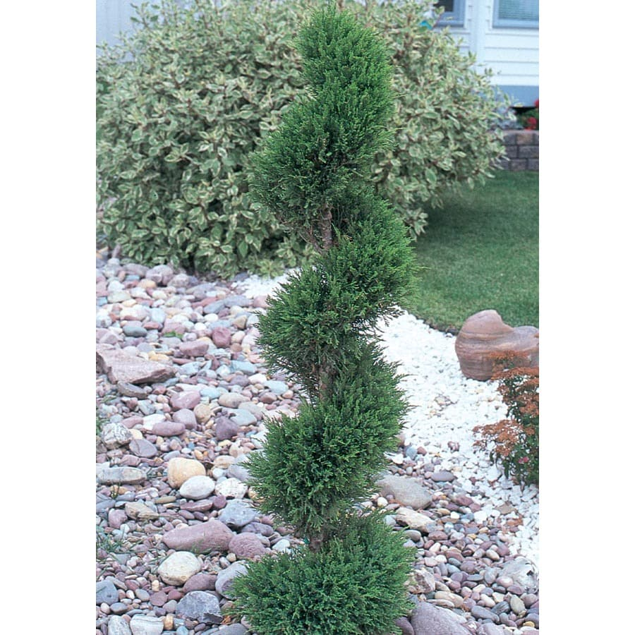 12.7-Gallon Spiral Emerald Beauty Arborvitae Feature Shrub (L9514)