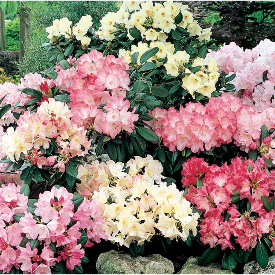 9.64-Gallon Multicolor Rhododendron Flowering Shrub (L5420)
