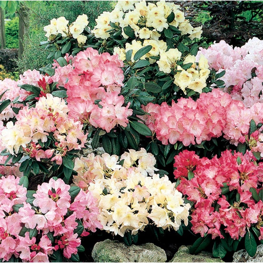 9.64-Gallon Mixed Rhododendron Flowering Shrub (L5420)