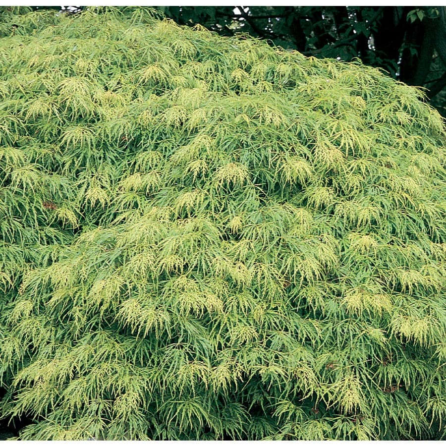19.09-Gallon Laceleaf Japanese Maple Feature Tree (L11472)