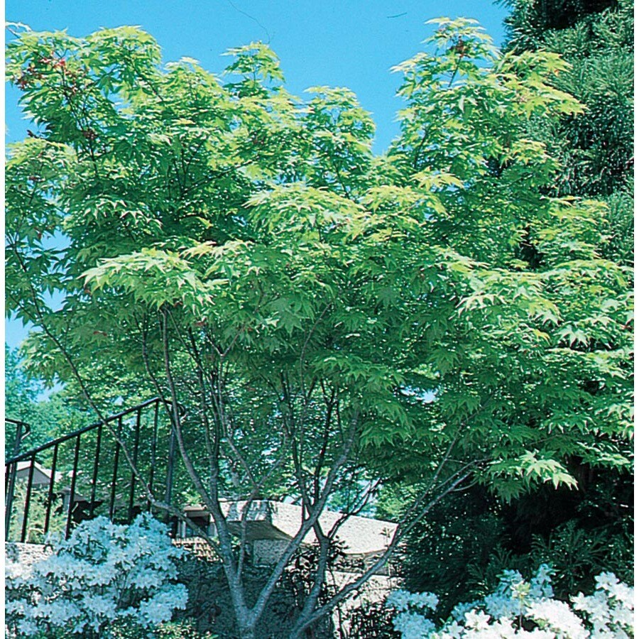 12.7-Gallon Japanese Maple Feature Tree (L4163)