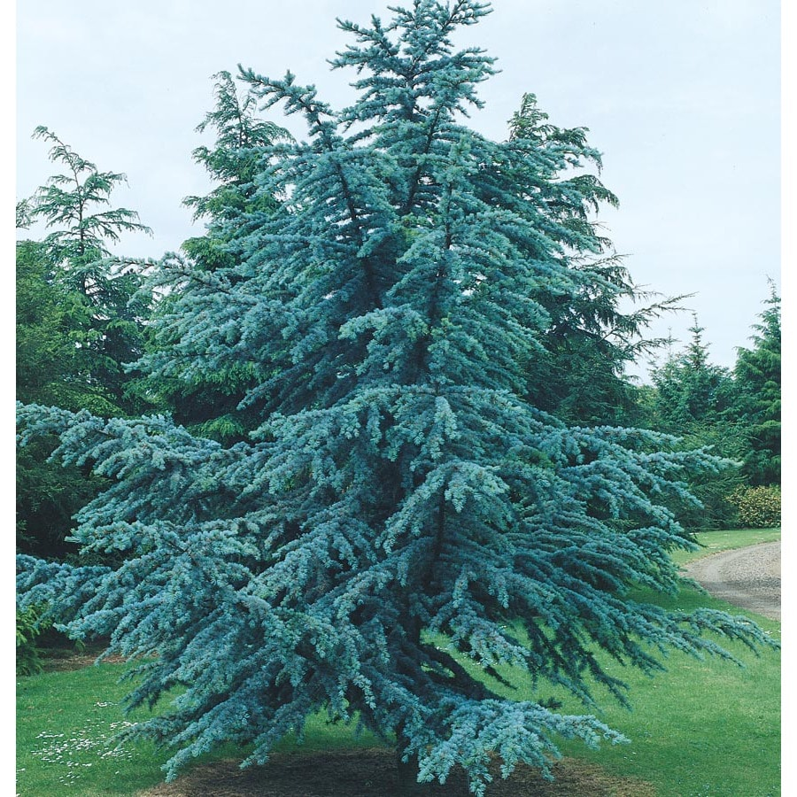 12.7-Gallon Blue Atlas Cedar Feature Tree (L4673)