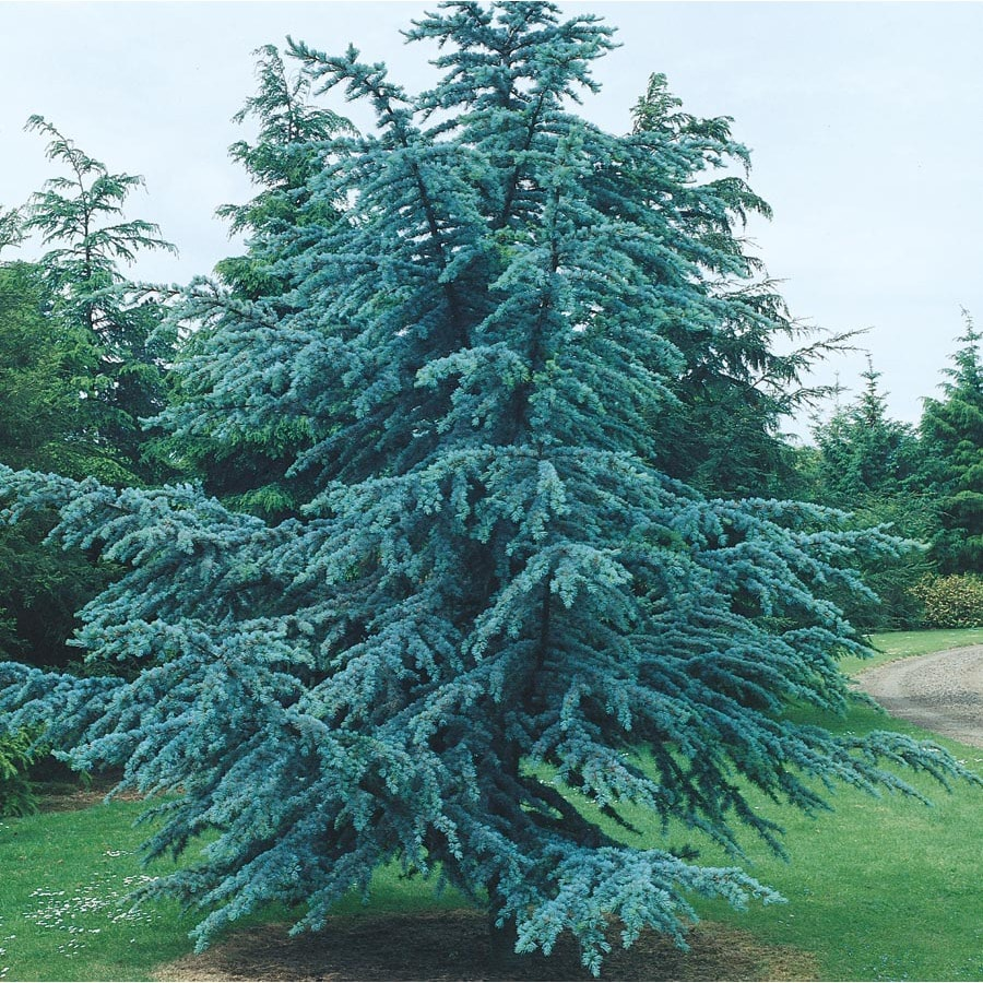 9 64 Gallon Horstmann Blue Atlas Cedar Feature Tree In Pot With Soil L27291 At Lowes