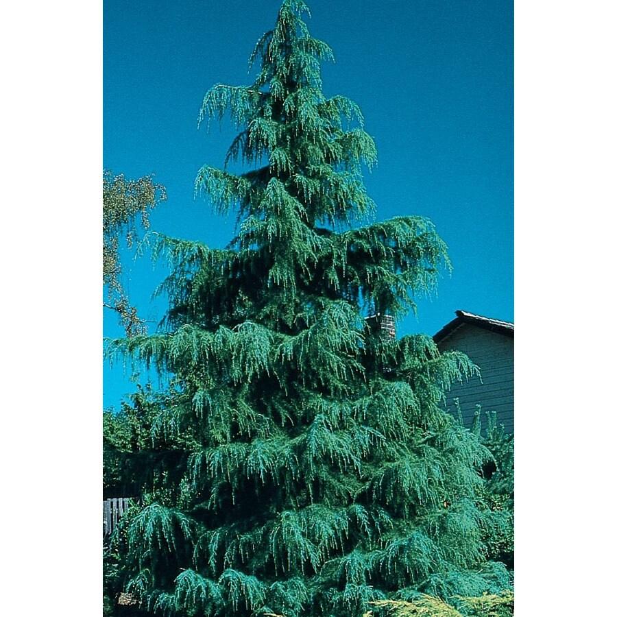 19.09-Gallon Deodar Cedar Feature Tree (L4674)