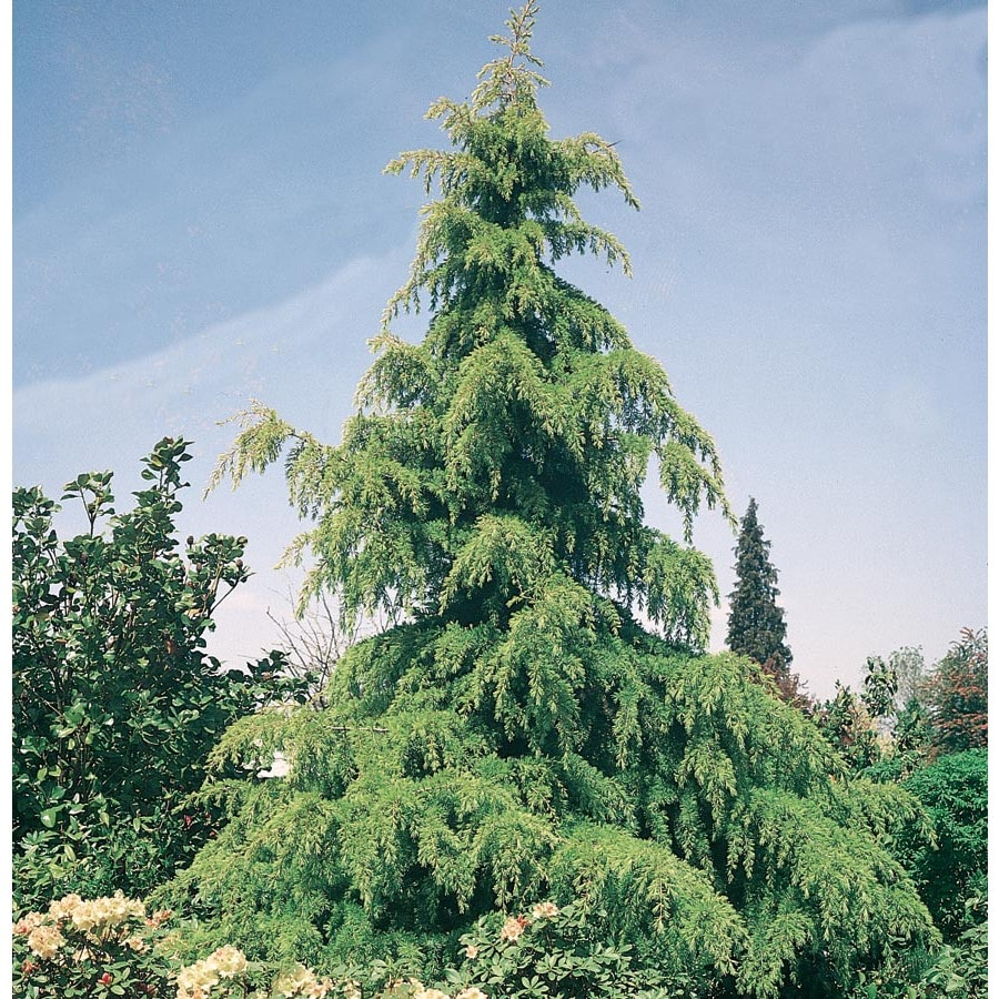 5-Gallon Golden Deodar Cedar Feature Tree (L9467)