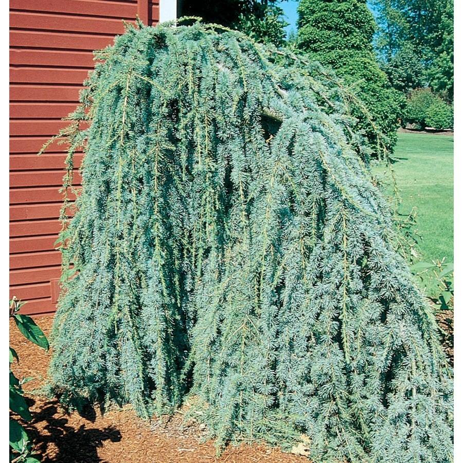 12.7-Gallon Weeping Blue Atlas Cedar Feature Tree (L8098)