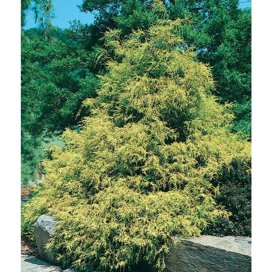 9.64-Gallon Golden Hinoki Cypress Feature Tree (L6750)