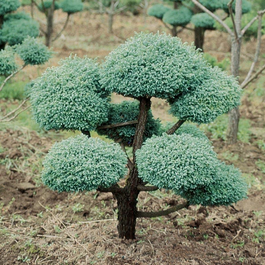 9.64-Gallon Boulevard False Cypress- Pom Pom Feature Tree (L11370)