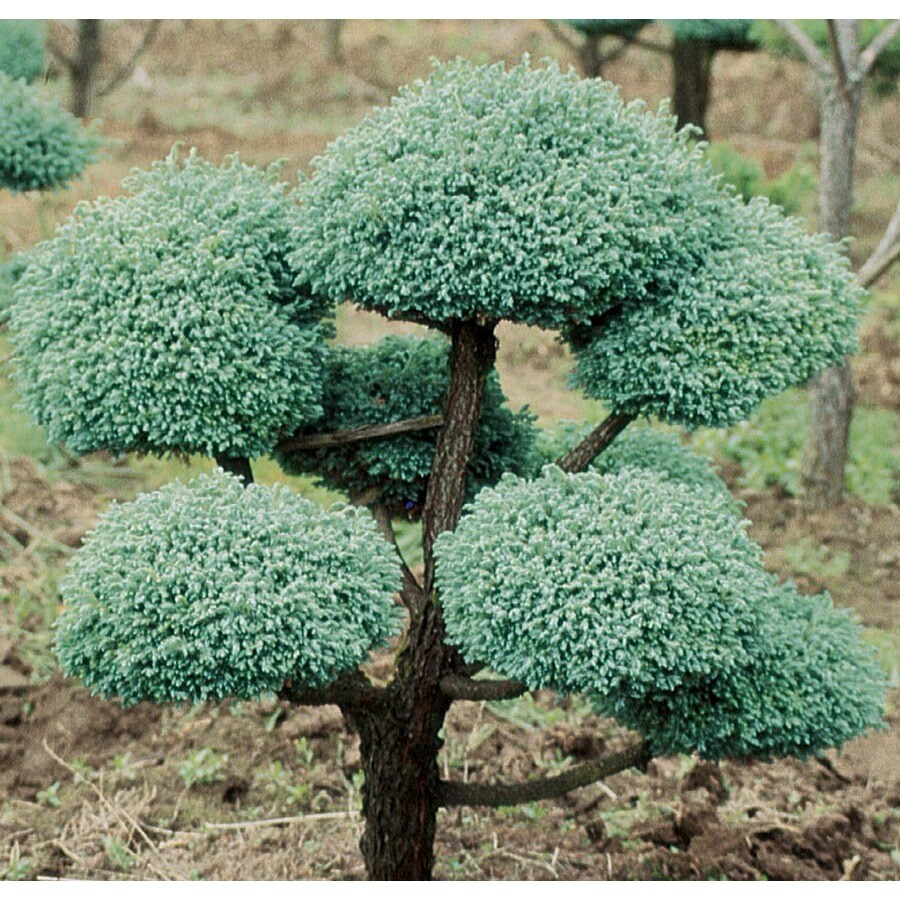 12.7-Gallon Boulevard False Cypress- Pom Pom Feature Tree (L11370)