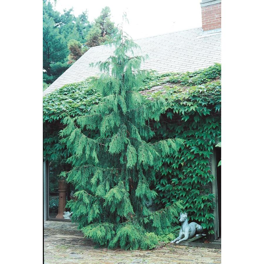 9.64-Gallon Weeping Alaskan Cedar Feature Tree (L14172)
