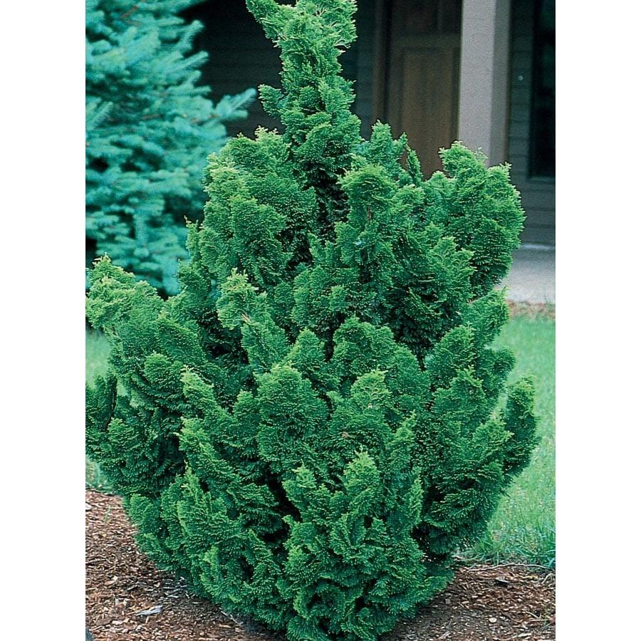 19.09-Gallon Hinoki False Cypress Feature Tree (LW02477)