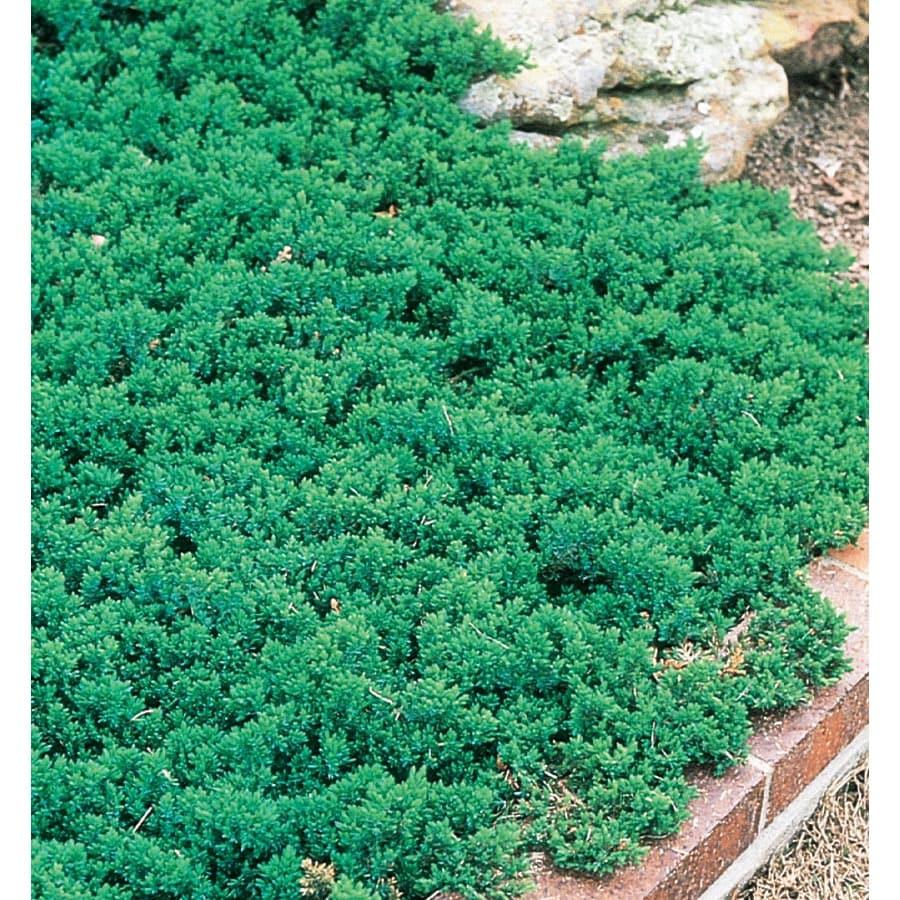 9.64-Gallon Dwarf Japanese Garden Juniper Accent Shrub (L3908)