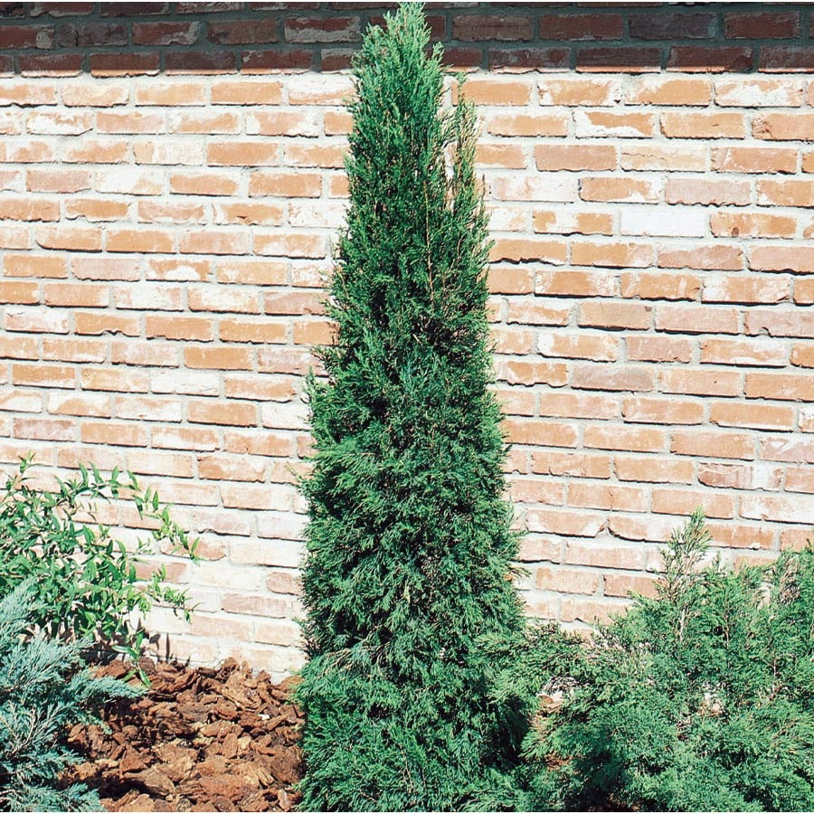 9.64-Gallon Spartan Juniper Feature Shrub (L4735)